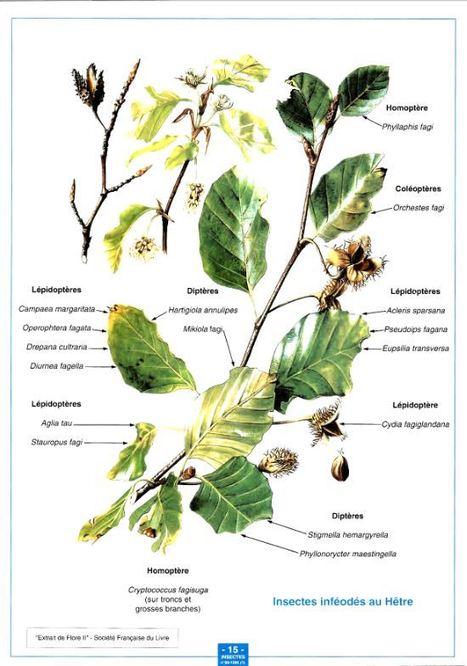 La faune des Arthropodes du hêtre | EntomoScience | Scoop.it