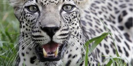 Mort du dernier léopard d'Egypte | animals rights and protection | Scoop.it