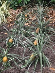 Pineapple Benefits, Benefits Infos For Health | hospital world information | Scoop.it