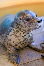 Seal found off Vancouver Island drowns at Winnipeg zoo | Marine Protection | Scoop.it