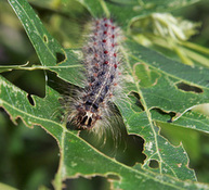 Gypsy Moths Strip Trees Bare in Only A Few Burlco Towns - Philadelphia Inquirer (blog) | Forests Unlimited | Scoop.it
