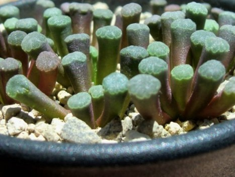 Frithia humilis – Window Plants, Fairy Elephant's Feet, Baby Toes | World of Succulents | Succulents | Scoop.it