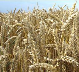 Greening lässt Getreideanbau in Niedersachsen ansteigen   Agrarforschung   Scoop.it