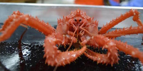 King Crabs Arrive in Antarctic, with Claws Out for Biodiversity - Live Science | GarryRogers NatCon News | Scoop.it
