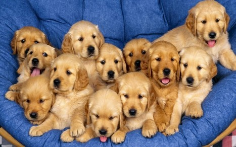 Golden Retriever: The Most Popular Breeds As Pets For Your Home | Florida Golden Retriever puppies for sale | Scoop.it