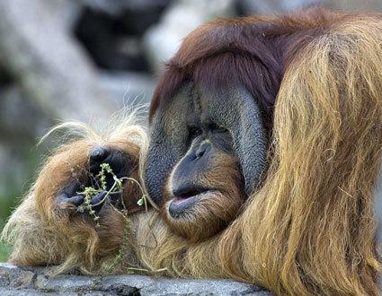 "Granting ""Personhood"" Status for Great Apes | Pahndeepah Perceptions | Scoop.it"