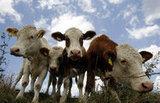 Weltmilchtag: Hoffnung der steirischen Milchbauern liegt in Asien > Kleine Zeitung | Europa-Asien | Scoop.it