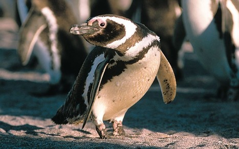 The penguins that have stayed faithful for 16 years - Telegraph | All about water, the oceans, environmental issues | Scoop.it