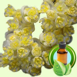 Litsea Cubeba Rectified ESSENTIAL OIL | Essential-Oils | Scoop.it
