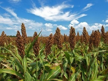 West African sorghum extract again shows immune health benefits | Nutrition & Health | Scoop.it