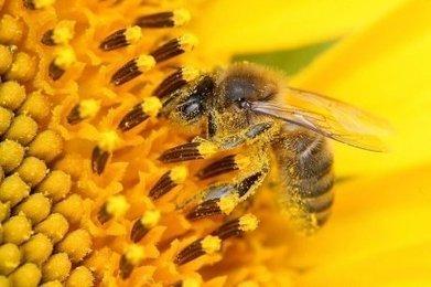Pesticides: les abeilles restent sans protection dans l'UE | Agriculture en Dordogne | Scoop.it