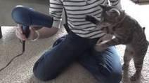 Ce chat découvre les pouvoirs d'un sèche-cheveux. Sa réaction est hilarante | CaniCatNews-actualité | Scoop.it