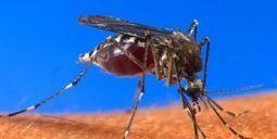 Vidéo : une piqûre de moustique vu de très près | Institut Pasteur de Tunis-معهد باستور تونس | Scoop.it