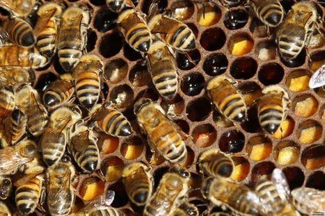 Disparition des abeilles : Greenpeace pointe du doigt certains ... - La Voix de l'Amérique | pesticides : un vrai cancer social ? | Scoop.it