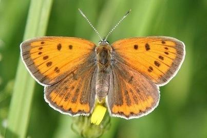 Les papillons et crustacés sont de moins en moins nombreux | EntomoNews | Scoop.it