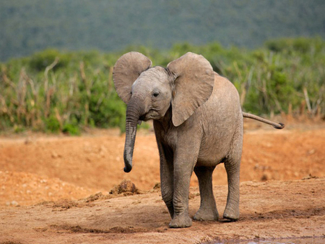 Elephant Refuge Center Pulls Out Of Florida | Oceans and Wildlife | Scoop.it