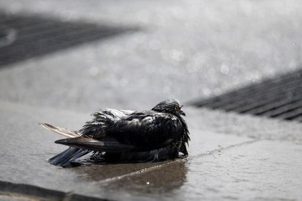 Une colline empoisonnée aux portes de Montpellier, 200 pigeons morts   Toxique, soyons vigilant !   Scoop.it