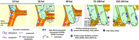 PLOS Pathogens: Cellular Tracking and Gene Profiling of  Fusarium graminearum  during Maize Stalk Rot Disease Development Elucidates Its Strategies in Confronting Phosphorus Limitation in the Host ... | Plant-Microbe Interaction | Scoop.it