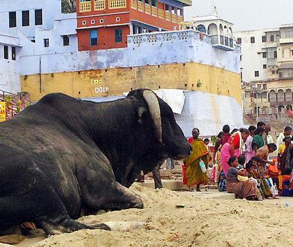 Le paradoxe indien, premier pays végétarien du monde, et premier exportateur de viande bovine | Vegactu - végétarien, végétalien et végan | Scoop.it