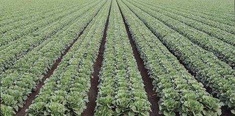 Grant to address lettuce disease issues | Yuma Sun | CALS in the News | Scoop.it