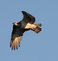 Fish farmers help monitor sea eagle populations | CSPB Ornithologist's Alliance. | Scoop.it