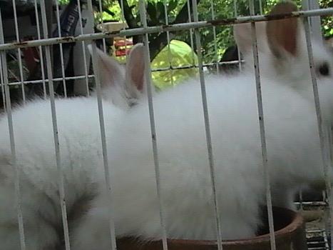 English Angora Rabbit   Garten Startseite   Garten-startseite   Scoop.it