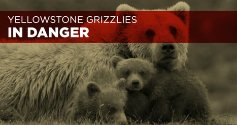 Stop the de-listing of the Greater Yellowstone Grizzly! | EcoAction | Scoop.it