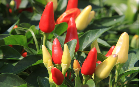 ScienceShot: Shhh, the Plants Are Talking - ScienceNOW | Spirit Medicine | Scoop.it