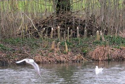 Le castor a élu domicile au lac des Bretonnières   Nature, climat, environement et santé   Scoop.it