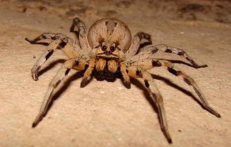 Interesting Facts You Would Love To Know About Wolf Spiders | R.I.P. Pest Management | Pest Exterminator Northern Beaches | Scoop.it