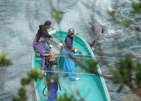 Op-Ed: Taiji fishermen clamp down as more Risso's dolphins are killed | Oceanic | Scoop.it