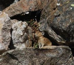 Report offers mixed climate change outlook for pikas | Farming, Forests, Water & Fishing (No Petroleum Added) | Scoop.it