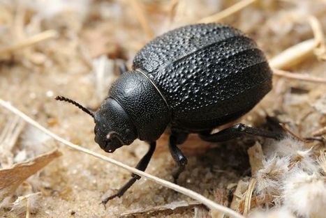Desert beetle bumps inspire new water-collecting material | Biomimétisme, Biomimicry, Bioinspired innovation | Scoop.it
