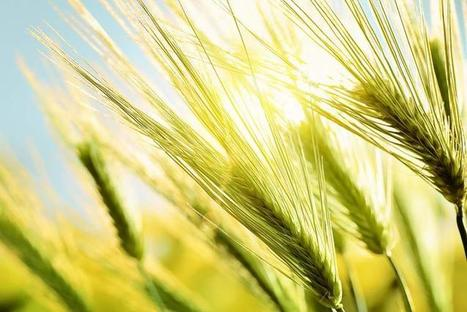 European grain yield stagnation related to climate change - Stanford U (2015) | Ag Biotech News | Scoop.it