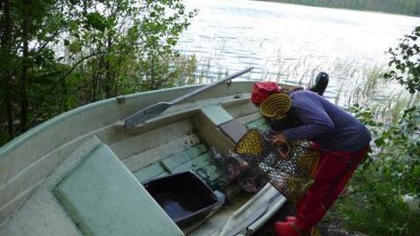 Crayfish season begins | Finland | Scoop.it