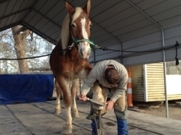 Vanishing Jobs: Farriers to be here as long as there are horses - American Press | Farriers and horseshoes around the globe | Scoop.it