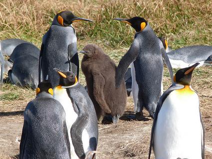 El curioso caso de los Pingüinos Rey de Bahía Inútil | Reflejos | Scoop.it