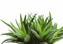 Aloe Vera and its many uses! | Lily Organics | Organic Skin Care ... | skin care brands for women | Scoop.it