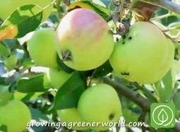 Episode 313: Backyard Orchards | Growing A Greener World | Annie Haven | Haven Brand | Scoop.it