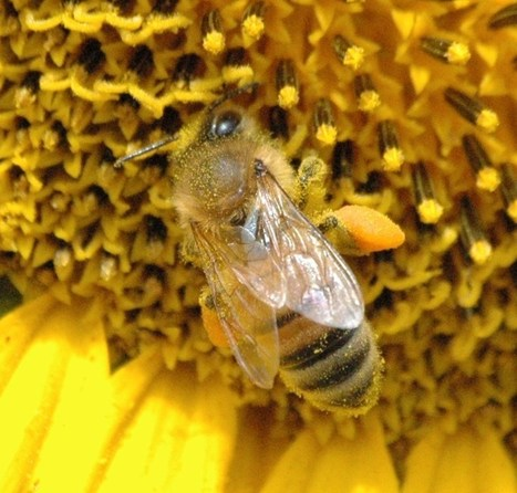 EU Vote On Neonicotinoids In Limbo As EPA Over Bee-Toxic Pesticides | The Organic View Radio Show | Colony Collapse disorder | Scoop.it