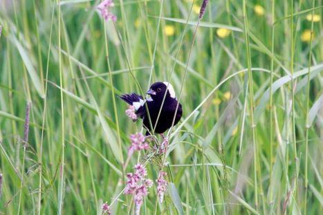 Dans la plaine du Saint-Laurent et des Grands Lacs, les populations d'oiseaux de prairies auraient décliné d'en moyenne 70 % entre 1970 et 2010 | Jean-François Dewez | Scoop.it