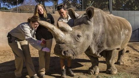 Northern white rhino dies in US, leaving only three alive - BBC News | Culture, Humour, the Brave, the Foolhardy and the Damned | Scoop.it