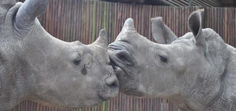 These Baby Rhinos Are Growing Up Without Their Moms | Help save our Rhino | Scoop.it
