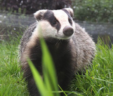 Badger vaccine option extended in Welsh TB fight   Animal Science   Scoop.it