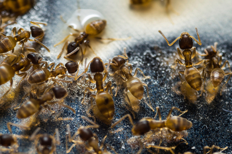 How to Control Ants in the House | Best Ant Control Tips | Pest Inspection and Treatment in NC | Scoop.it
