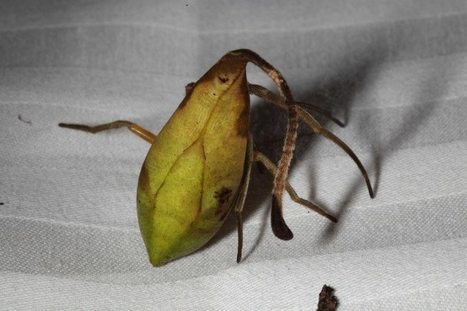 Masquerading spider looks like living and dead leaves at once   Biologie in de klas   Scoop.it