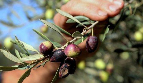Année noire pour l'olive, les oléiculteurs en difficulté | Noix, noisettes, châtaignes | Scoop.it