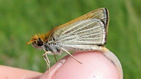 Canada. Le manque de neige menace un papillon du Manitoba   Nature, climat, environement et santé   Scoop.it