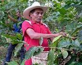 US acts to fight disease harming 'fair trade' coffee | Sustain Our Earth | Scoop.it