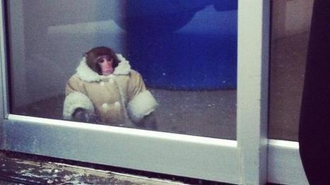 """""""Quelqu'un aurait-il égaré son singe chez Ikea ?"""" - francetv info   Magasin Ikea   Scoop.it"""